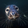 A grey seal curiously approaches the camera