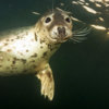 A grey seal approaches the camera